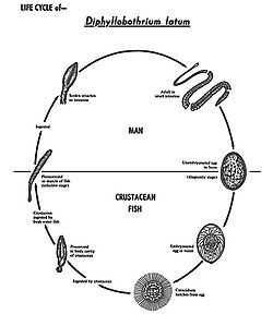 Tapeworm life cycle.jpg