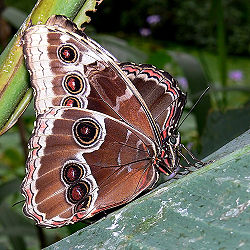 Inner eyes of blue morpho.jpg