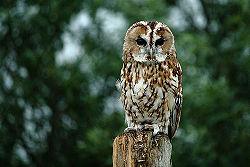 Tawny Owl - full body 3.jpg