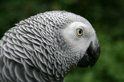 African Grey Parrot.jpg