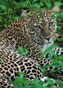 Close up african leopard.jpg