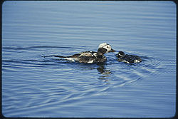 Long tailed duck with baby.jpg