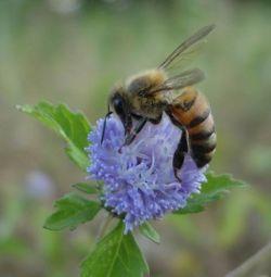 Africanized bee on flower.jpg
