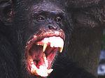 Angry chimpanzee.jpg