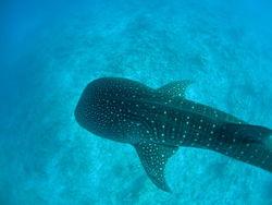 Whaleeshark2.jpg