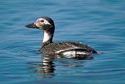 Long tailed duck.jpg