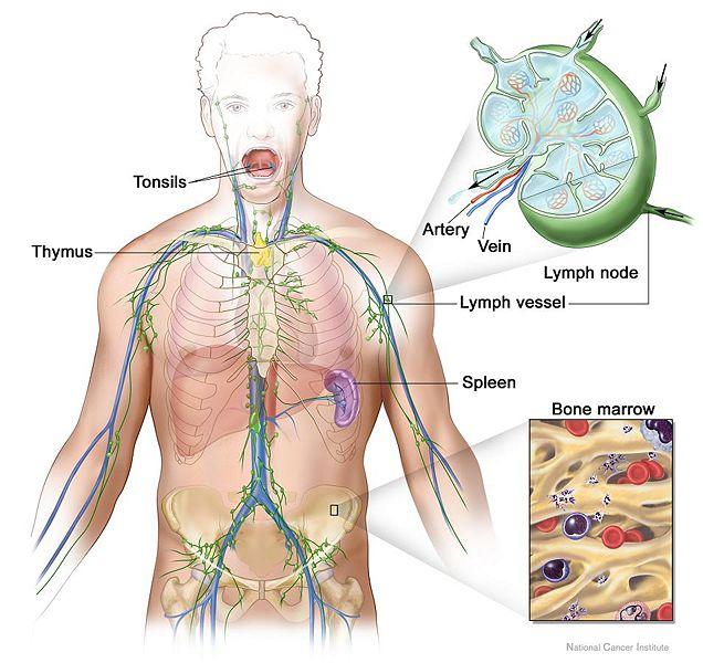 File:Lymphatic system.jpg