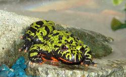 Fire-bellied toad.jpg