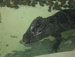 Chinese ALLIGATOR.jpg