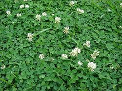 800px-Starr 070313-5639 Trifolium repens.jpg