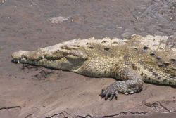 AmericanCrocodile2.jpg