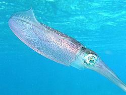 Caribbean reef squid.jpg