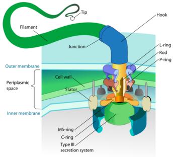 Flagellum diagram.png
