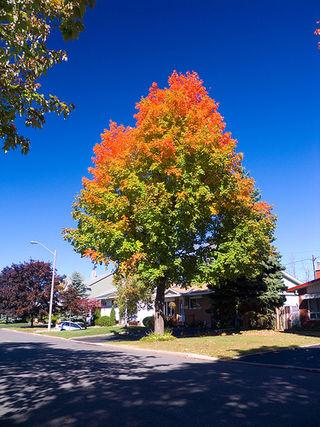 Beautiful maple tree.jpg
