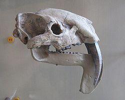 Thylacosmilus atrox.jpg