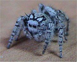 Jumping spider.jpg