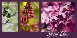 Lilac in spring.jpg