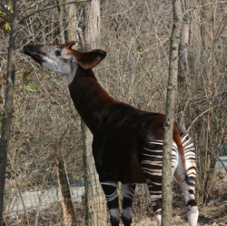 Okapi creation wiki.jpg