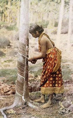 A tree man in Sri Lanka in the process of harvesting rubber.