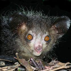 Aye-aye at night in the wild in Madagascar.jpg