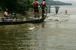 Asian carp jump.jpg