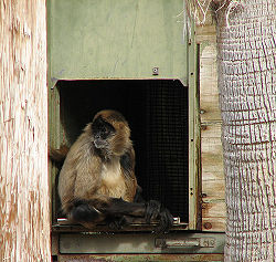 Brown spider monkey.jpg
