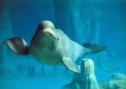 Beluga whale.jpg