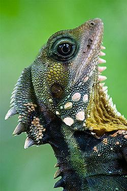 Boyd's forest dragon pic.jpg