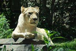 Panthera leo krugeri.jpg