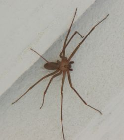 Brown Spiders in Wisconsin http://creationwiki.org/Brown_recluse_spider