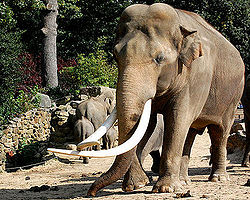 Asian elephant wikipedia