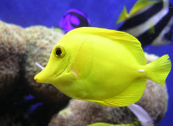 Closeup Of A Yellow Tang
