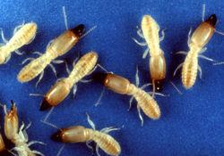 Termitegroup.jpg