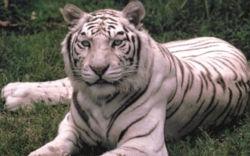 White tiger 1.jpg