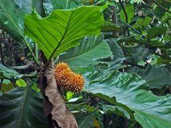 Artocarpus elasticus.jpg