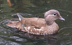 Female mandarin duck.jpg