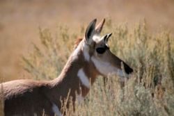 Pronghorn close up.jpg