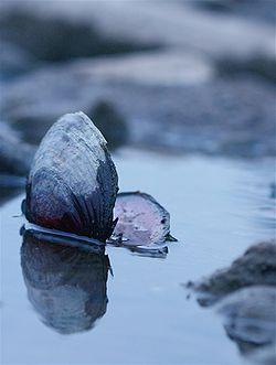 Solo clam.jpg
