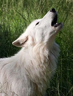 Alaskan Tundra Wolf howling.jpg