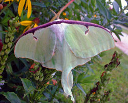 Cover Luna Moth.jpg