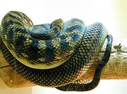 Boa constrictor.jpg