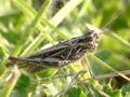 Common Field Grasshopper.jpg