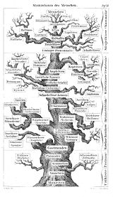 Descent of man according to Ernst Haeckel