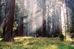 Sequoiatrees.jpg