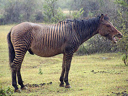 Zebroid 1.jpg