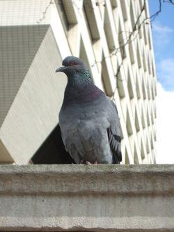 Pigeon(columba) main.jpg