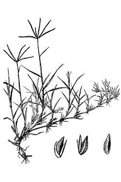 C. dactylon (4).jpg