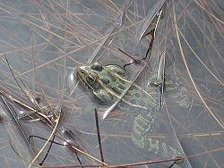 Northern Leopard Frog 2.jpg