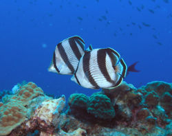 Pair of butterflyfishes.jpg
