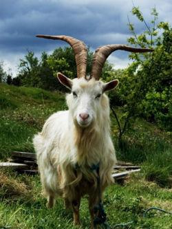 450px-Irish Goat.jpg